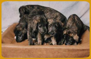 The Irish Wolfhound Club